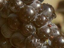 Гроздь винограда ушла с молотка за рекордные $12 тысяч