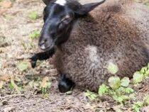 В Шотландии овцу продали за рекордные полмиллиона долларов