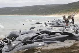 В Австралии сотни дельфинов погибли, выбросившись на берег