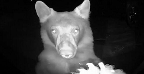 Жителям Калифорнии в дверь позвонили медведи