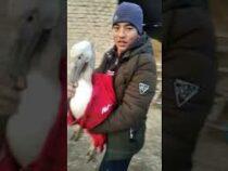 ВТаласе жители возле кошары нашли пеликана