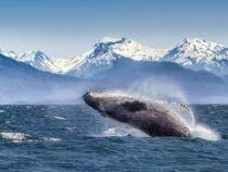 На Аляске горбатые киты из-за коронавируса начали петь