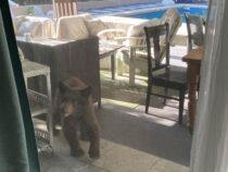 В гости к жительнице Калифорнии заглянули медвежата