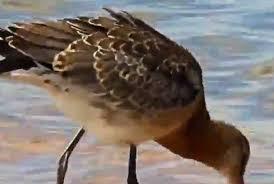 Птица пролетела более 12 тыс. км без посадки