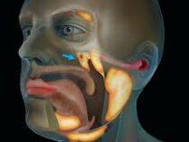 Ученые обнаружили в теле человека орган, ранее неизвестный науке