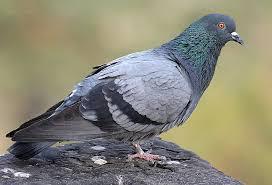 В Бельгии установили рекорд по продаже скоростного голубя
