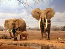 Рекордный бэби-бум: в парке в Кении родилось более двухсот слонов