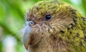 В Новой Зеландии выбрали птицу года