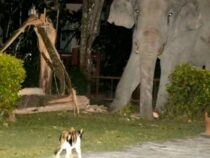 В Таиланде храбрый кот прогнал со двора слона