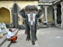 Слониха из Индии получила славу благодаря модной стрижке