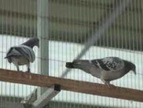 Гоночного голубя продали за $750 000 на аукционе в Китае