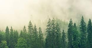 Найдены пять древнейших деревьев России