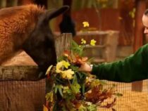 В Лондоне рождественские венки ручной работы съели ламы