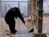 В Таллине шимпанзе сам помыл окна и пол вольера