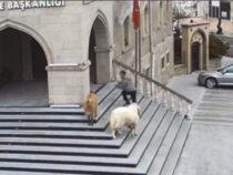 В Турции стадо парнокопытных устроило переполох в мэрии