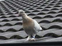 В Австралии за нарушение карантина хотят усыпить голубя