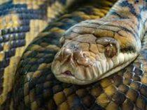 В Каире делают процедуру массажа змеями