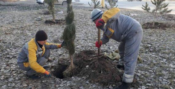 В трех районах Бишкека сажают хвойные деревья