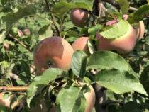 В Японии робота научили собирать яблоки и груши
