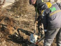 В столице продолжаются зимние посадки хвойных деревьев