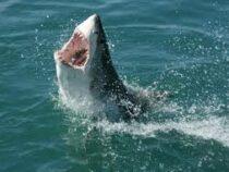 Ученые выяснили, что старейшей в мире акуле скоро исполнится 400 лет