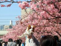 В Хиросиме зацвела сакура