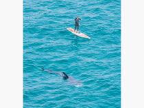 Гигантские акулы подплыли к серферу и покружили возле него