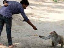 В Индии задержали преступников, научивших обезьян воровать деньги