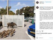 Израильский город захватили дикие кабаны