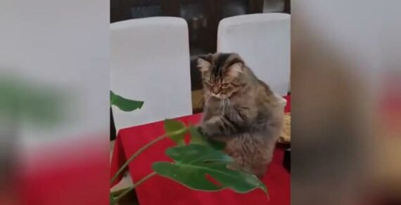 Кот устроил боксерский поединок с цветком, но быстро устал