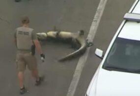В США «задержан» крокодил