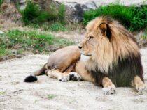 Зоопарк похвастался своими африканскими львами. Выяснилось, что это собаки