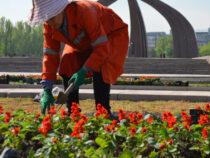 МП «Бишкекзеленхоз» начало высаживать однолетние цветы