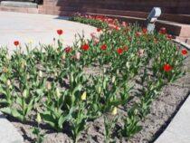 В Бишкеке зацвели тюльпаны