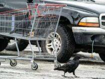 Вороны повадились красть продукты у покупателей