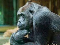 В чешских зоопарках обезьянам выдали системы для видеоконференций