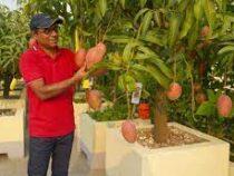 Мужчина в Индии нанял охрану для самого дорогого манго в мире