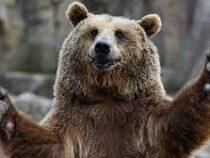 В США медведя подозревают в автокражах