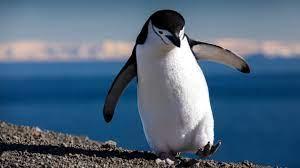 Пингвину из Сент-Луиса подарили ботинки