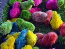 Продажа разноцветных цыплят процветает в Узбекистане