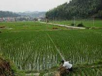 В Китае впервые собран урожай риса из семян, которые побывали на Луне