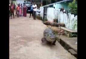 Гигантский крокодил гулял по улицам в индийском городке