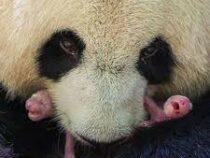 Панды-близнецы родились взоопарке Франции