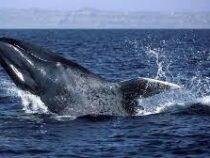 К атлантическому побережью Испании  вернулись синие киты