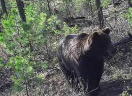 ВЯкутии домашний кот Вася прогнал дикого медведя