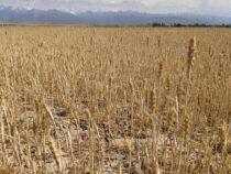Засуха. Урожай сократился в два раза