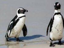 Пчелы убили 63 пингвина