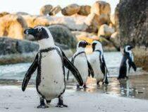 Виновниками массовой гибели пингвинов в ЮАР оказались пчелы