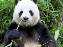 Гигантская панда в зоопарке Мадрида родила двух детенышей
