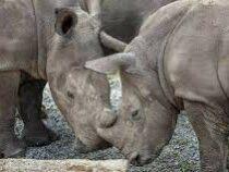 Носорогов защитят от браконьеров при помощи радиации